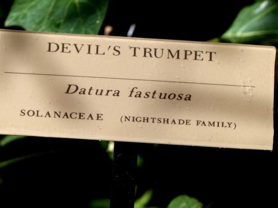 Devil's Trumpet 2 Desert Mus-Tuscon