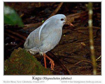 Kagu (Rhynochetos jubatus) by Ian