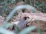 Gambel's Quail (Callipepla gambelii) Desert Mus-Tucson by Lee