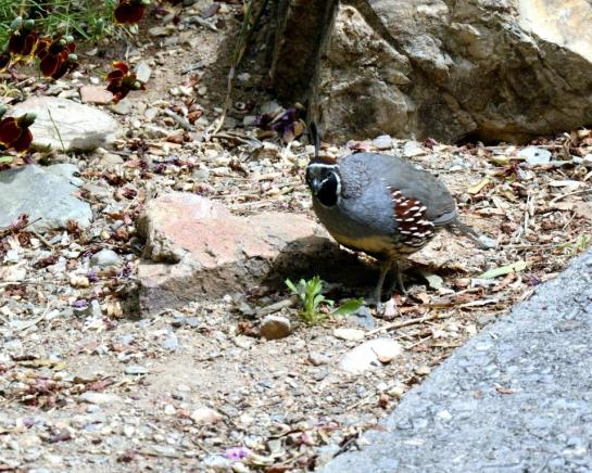 Gambel's Quail by Dan at Arizona-Sonora Desert Museum