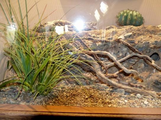 Glossy Snake Desert Mus-Tucson (2)