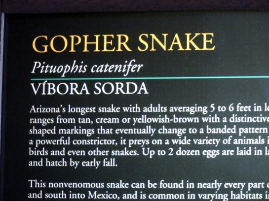Gopher Snake Desert Mus-Tucson (1)