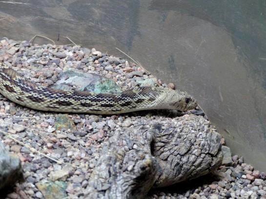 Gopher Snake Desert Mus-Tucson (4)