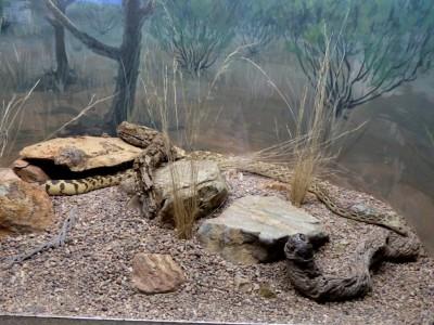 Gopher Snake Desert Mus-Tucson by Lee