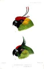 Horned Parakeet, (Nymphicus cornutus) (above) and Ouvea Parakeet, Nymphicus uvaensis) ©WikiC