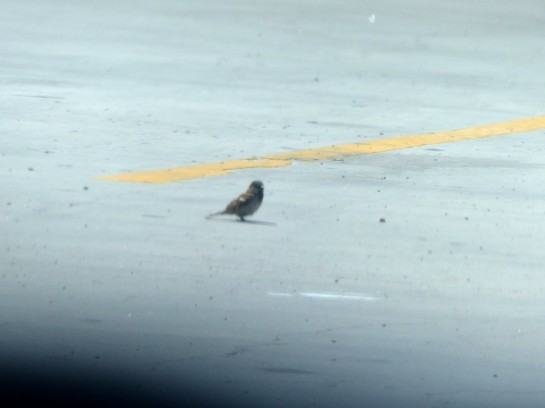 House Sparrow at Welcome Ctr