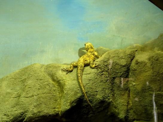 Isla San Esteban Chuckwalla - Desert Mus by Lee