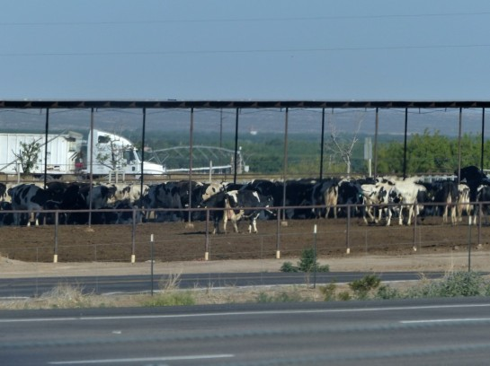 Cattle Feeding places