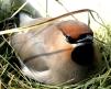 Bohemian Waxwing (Bombycilla garrulus) Female on Nest ©WikiC