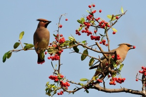 Japanese Waxwing (Bombycilla japonica) ©WikiC