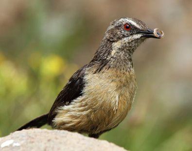 Drakensberg Rockjumper (Chaetops aurantius) by ©WikiC