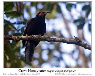Crow Honeyeater (Gymnomyza aubryana) by Ian