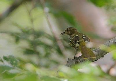 Eastern Nicator (Nicator gularis) ©WikiC Rainbirder