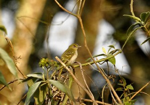 Yellow-throated Nicator (Nicator Vireo) ©BirdingAroundThe World