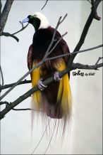 Greater Bird-of-paradise (Paradisaea apoda) ©WikiC