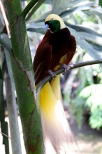 Lesser Bird-of-paradise (Paradisaea minor) Male and Female©©