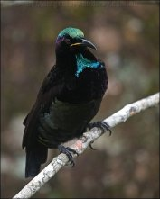 Victoria's Riflebird (Ptiloris victoriae) by Ian