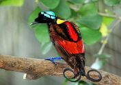 Wilson's Bird-of-paradise (Diphyllodes respublica) ©WikiC