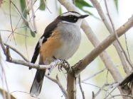 Buff-sided Robin (Poecilodryas cerviniventris) ©WikiC