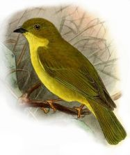 Canary Flyrobin (Microeca papuana) ©Drawing WikiC