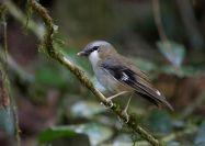 Grey-headed Robin (Heteromyias cinereifrons) ©WikiC