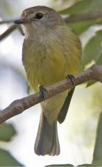 Lemon-bellied Flyrobin (Microeca flavigaster) ©WikiC