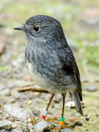 South Island Robin (Petroica australis) ©WikiC