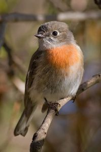 Scarlet Robin (Petroica boodang) Female ©WikiC