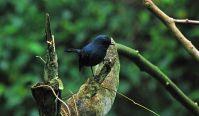 Slaty Robin (Peneothello cyanus) ©WikiC