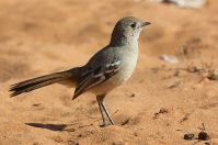 Southern Scrub Robin (Drymodes brunneopygia) ©WikiC