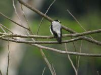 Torrent Flyrobin (Monachella muelleriana) ©WikiC