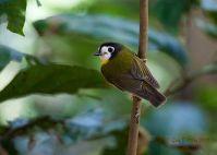 White-faced Robin (Tregellasia leucops) ©WikiC