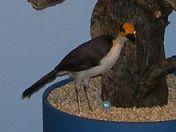 White-necked Rockfowl (Picathartes gymnocephalus) ©WikiC