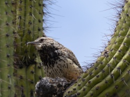 Birds of the Bible – CactusWren
