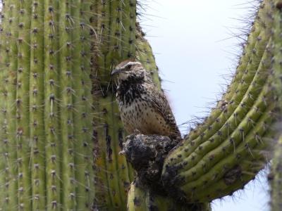 Cactus Wren (Campylorhynchus brunneicapillus) by Lee