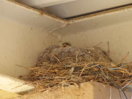 Say's Phoebe Nest and Nestling