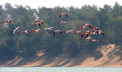 Chilean Flamingo (Phoenicopterus chilensis) ©Wiki