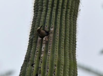 PIC-Pici Gila Woodpecker (Melanerpes uropygialis) Desert Mus-Tucson cr(11)