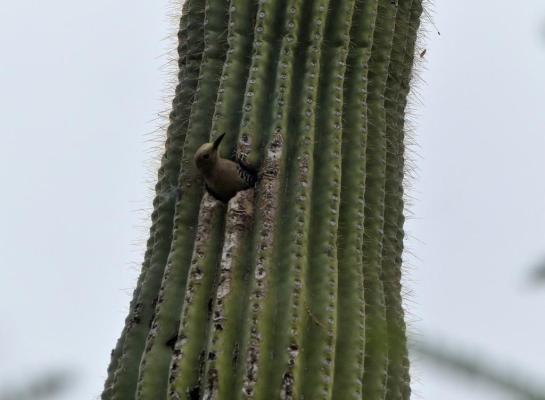 Gila Woodpecker (Melanerpes uropygialis) Desert Mus-Tucson