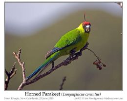 Ian's Bird of the Week – Horned Parakeet