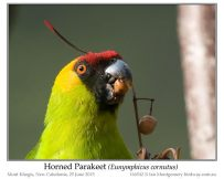 Horned Parakeet by Ian