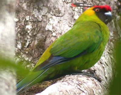 Horned Parakeet (Eunymphicus cornutus) ©WikiC