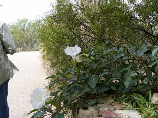 Sacred Atura _001 Desert Mus-Tuscon
