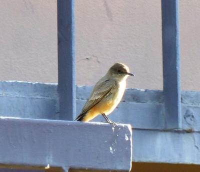 Say's Phoebe (Sayornis saya) at El Centro Ca by Lee