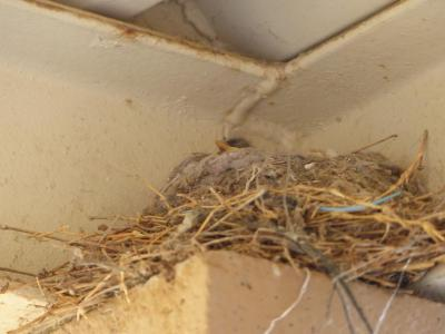 Say's Phoebe nestling at El Centro Ca by Lee