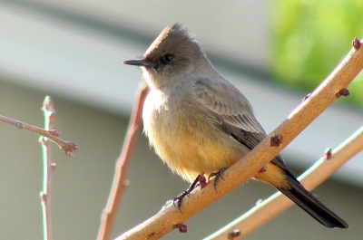 Say's Phoebe (Sayornis saya) ©©Flickr Dawn Ellner