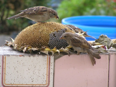 Sparrows Eating From A Sunflower ©©Sagudino Flickr