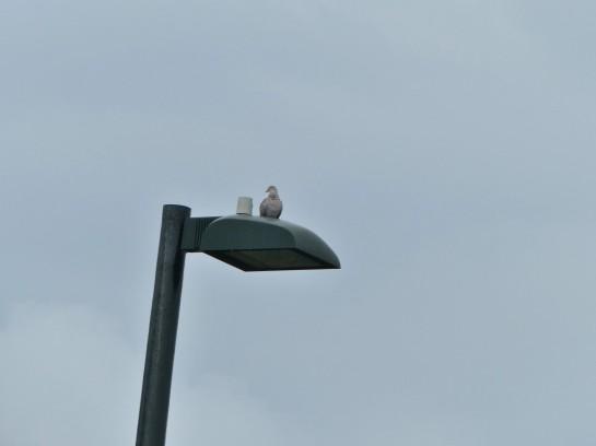 Dove on Light Post