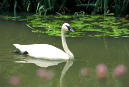 Trumpeter Swans:  Trumpeting a Wildlife ConservationComeback
