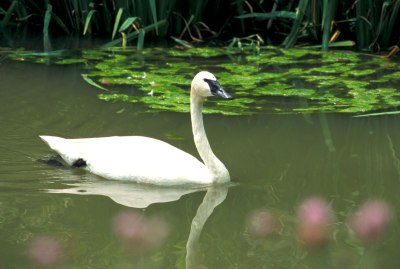 Trumpeter Swan (Cygnus buccinator) ©Columbus Zoo